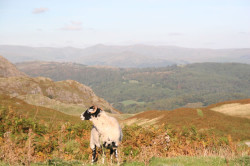 Local Resident, the Herdwick Sheep.
