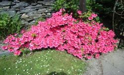 Azalea, Front Garden